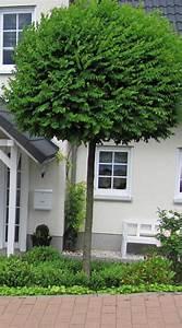 Baum Vorgarten Immergrün : garten anders formschnitt f r geh lze beispiele und tipps ~ Michelbontemps.com Haus und Dekorationen
