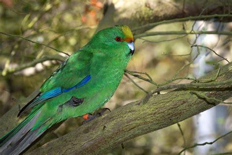 orange fronted parakeet  zealand birds