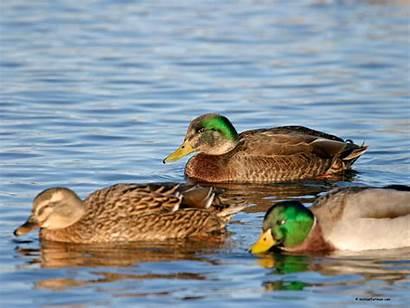 Mallard Duck Hybrid Drake Ducks Hybrids Head