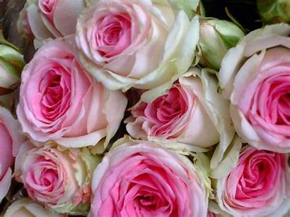 Rose Bouquet Pink Roses Cabbage Esperance Desktop
