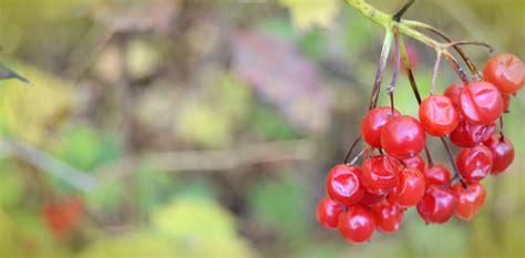 Rote Beeren Strauch Herbst by Bild Beere Natur Strauch Oktober Gitti Bei