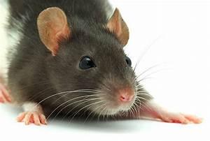Wie Vertreibt Man Ratten : die kleinen fassungslosigkeiten des alltags klappe die 6 seite 1104 ~ Eleganceandgraceweddings.com Haus und Dekorationen
