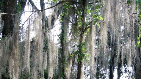 eye  moss  root  plant decline orlando