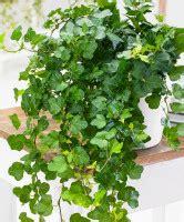 Pnnp 2 pcs piante finte da interno edera. Piante pendenti da interni | MignoloVerde.it