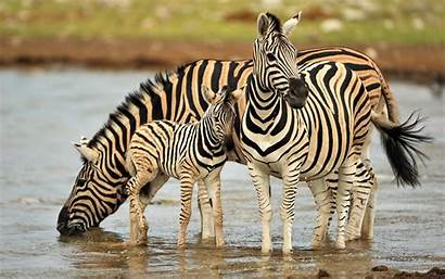 Zebra Wallpapers Fullhdpictures