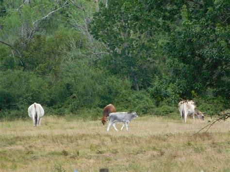 krave na paši | Animals, Domestic, Cow