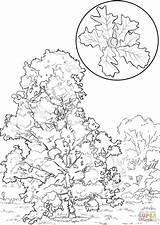 Oak Coloring Bur Tree Printable Elm Designlooter Drawing Drawings Trees Template Categories sketch template