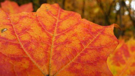 Orange Leaf Wallpaper by Forest Leaf Large Orange Leaves Autumn Autum Wallpaper Hd