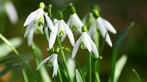 Pflanzenlexikon Mit Bild : fr hbl her wie tulpe und schneegl ckchen pflanzen ~ Orissabook.com Haus und Dekorationen