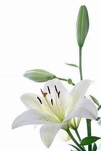 Lilie Symbolische Bedeutung : die lilie sprache der blumen ~ Frokenaadalensverden.com Haus und Dekorationen