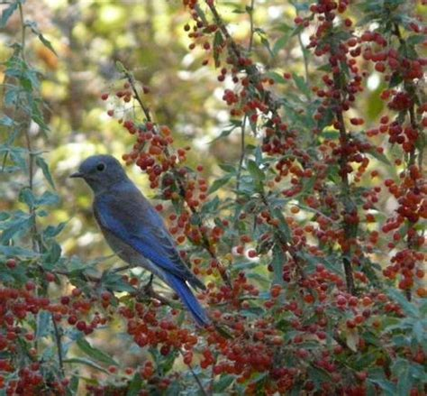 mahonia nevinii nevins barberry