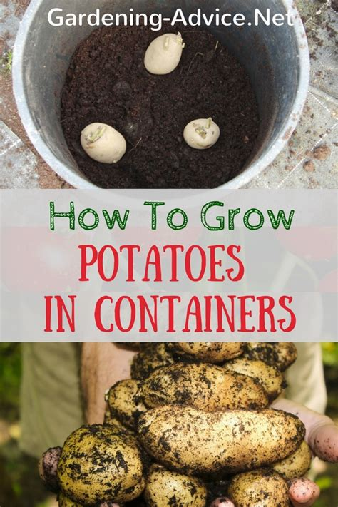 how to grow potatoes growing potatoes in containers how to plant potatoes in pots in 5 steps