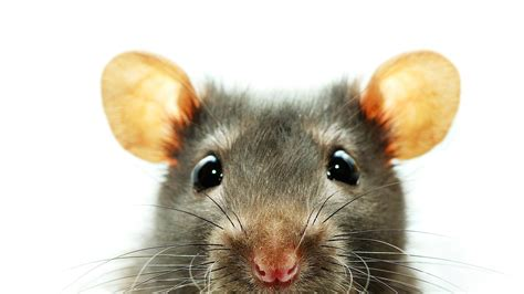 under trash can rat wallpapers images photos pictures backgrounds