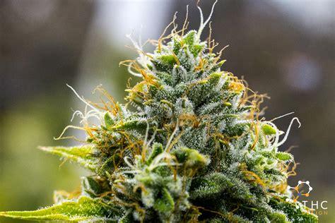 skywalker og cannabis strains thc design cannabis cultivator
