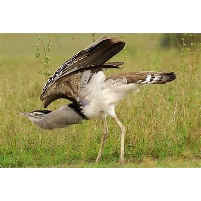 WHAT IS THE WORLD'S HEAVIEST FLYING BIRD? |The Garden of Eaden