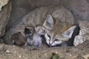 sand cats for newborn sand kittens delight at israeli zoo the