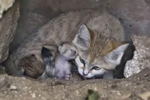 sand cat for newborn sand kittens delight at israeli zoo the