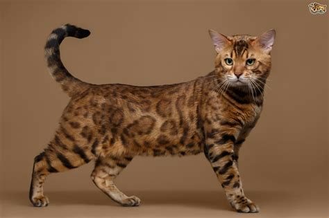 bengal cat breed facts highlights buying advice