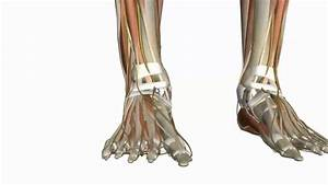 Muscles Of The Foot Part 1 - 3d Anatomy Tutorial