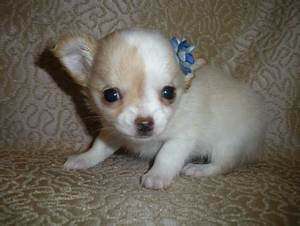 Do Long Hair Chihuahuas ShedLong Hair Chihuahua BonBon