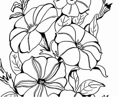 Petunia Coloring Adult Flower Petunias Drawing Pages