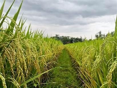 Padi Pertanian Sawah Petani Produksi Dan Pangan