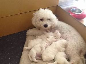 bichon frise puppies horsham