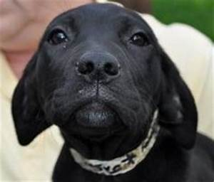 Sebastian is a black lab, pit bull mix, 4 months old on ...