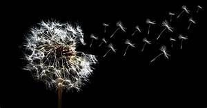 Bild Pusteblume Schwarz Weiß : kostenloses foto pusteblume l wenzahn nahaufnahme kostenloses bild auf pixabay 333643 ~ Bigdaddyawards.com Haus und Dekorationen