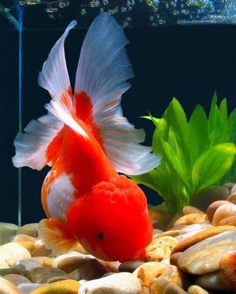 19 Jenis Ikan Hias 18 jenis ikan hias yang dapat kalian pelihara dirumah