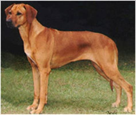 do rhodesian ridgebacks drool rhodesian ridgeback breeds information about
