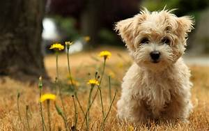 Cute Brown Maltese Dog