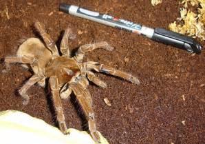 Tarantula Biggest Spider World
