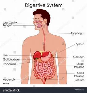 Medical Education Chart Biology Digestive System Stock