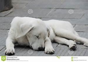 White Sheep-dog Stock Image - Image: 25616431