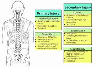 The Spinal Cord Injury  Sci  Cascade Is Comprised Of Both