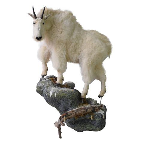 deer antler chandelier rocky mountain goat taxidermy mounts for sale