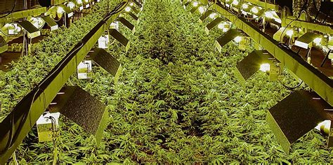 Der Illegale Cannabis-anbau In Berlin Nimmt Zu