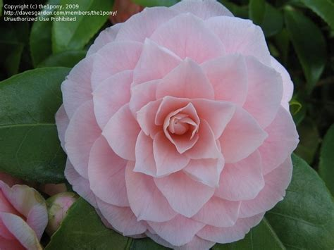 pink perfection camellia plantfiles pictures common camellia japanese camellia pink perfection camellia japonica by