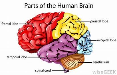 Area Broca Lobe Frontal Found Brain Diagram