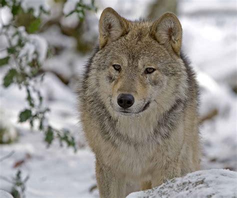 la maison des loups orlu les pyren 233 es