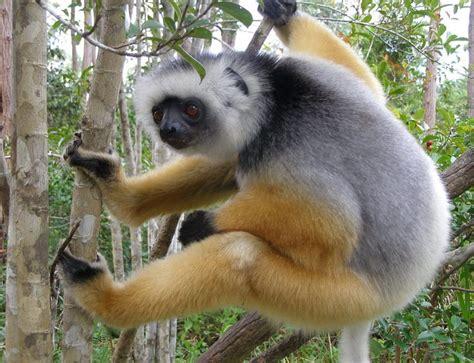 Extinction threatens 60% of world's primates Earth