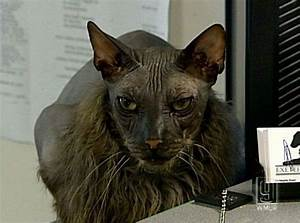 The ugliest cat in the world (7 pics) - Picture #4 ...
