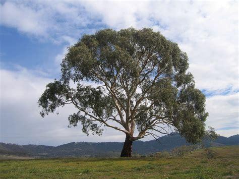Eucalyptus Rubida Wikipedia