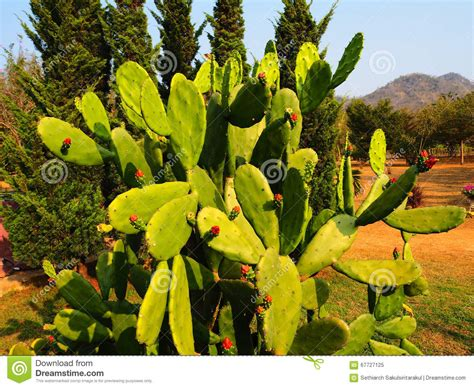 The Cactus, Landscape In Thailand Stock Image - Image of ...