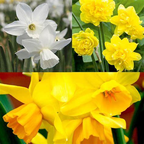 daffodil cornish miniature bulbs collection bedding