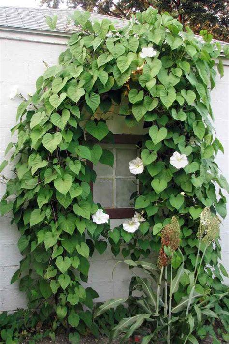 Schnellwachsende Kletterpflanzen Winterhart by 12 Tolle Vorschl 228 Ge F 252 R Schnellwachsende Kletterpflanze Im