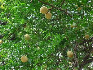Natural Pain Relief: 3 Trees You Can Grow To Avert Disease ...