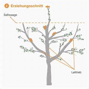 Hohlkehlleisten Auf Gehrung Schneiden Anleitung : obstbaumschnitt eine anleitung mit bildern ~ Lizthompson.info Haus und Dekorationen