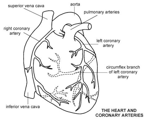 heart coronary arteries diagram patient clip art library